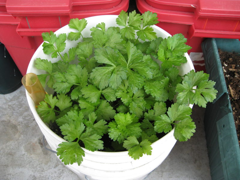 Celery planted