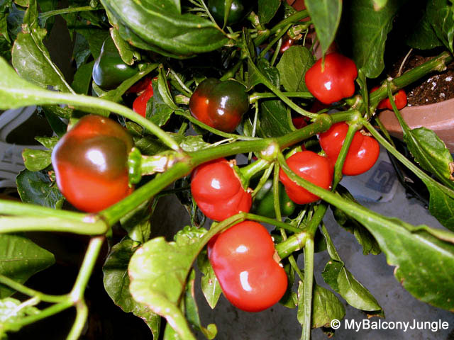 Container Grown Hot Cherry Peppers